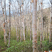 This is the image for the month of November in the 2015 White Mountains New Hampshire calendar. Birch forest on the side of Mount Hale along the abandoned Fire Warden's Trail in the White Mountains, New Hampshire USA. It can be purchased here: http://bit.ly/1audUBp