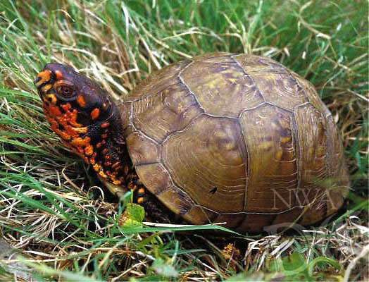 Courtesy photo/MISSOURI DEPARTMENT OF CONSERVATION<br /> Three-toed box turtles are often seen crossing roads during late spring.