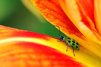 A spotted cucumber beetle climbs between petals on a daylily at The Gardeners of America/Men's Garden Clubs of America national headquarters garden in Johnston, Iowa.