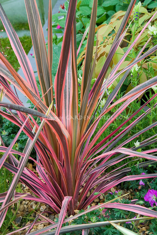 Cordyline australis southern splendour cabbage grass for Short variegated grass