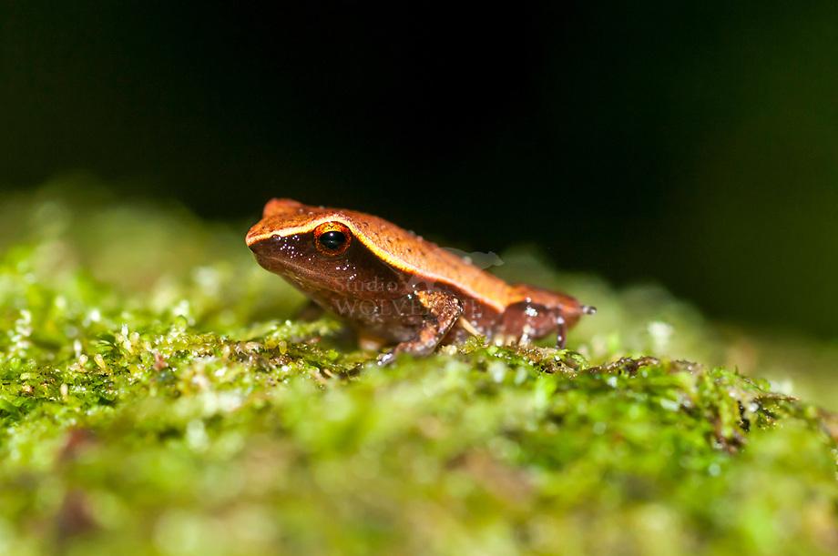 Kikker (Plethodontyla notosticta),
