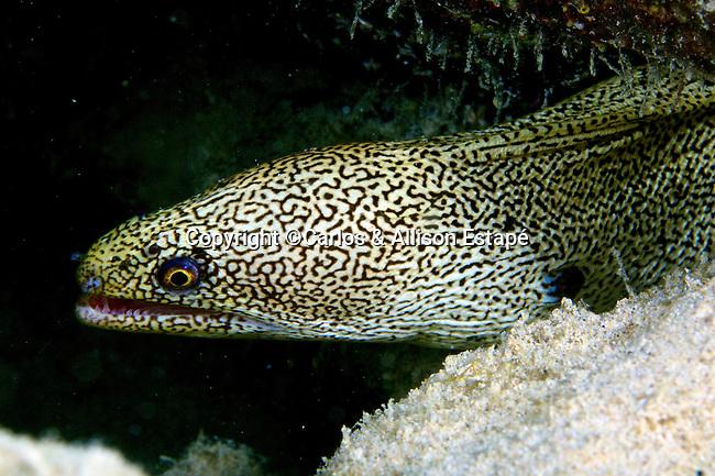 Gymnothorax miliaris, Goldentail moray, Bonaire
