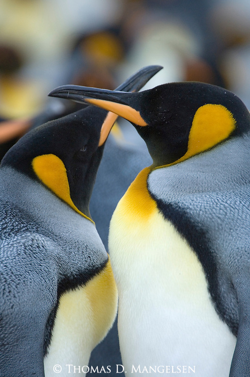 A king penguin pair courting at Gold Harbour in South Georgia.