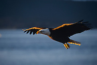 Bald Eagle flying--catching early morning sunlight.
