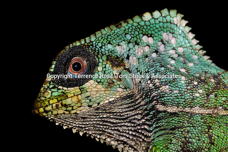 Helmet iguana, or forest chameleon ( Corytophanes cristatus). An arboreal iguana, usually found in the lower branches of trees from Mexico, Central America, and parts of Colombia. Feend on anthropods and spiders. Costa Rica.