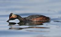 Black-necked Grebe - Podiceps nigricollis