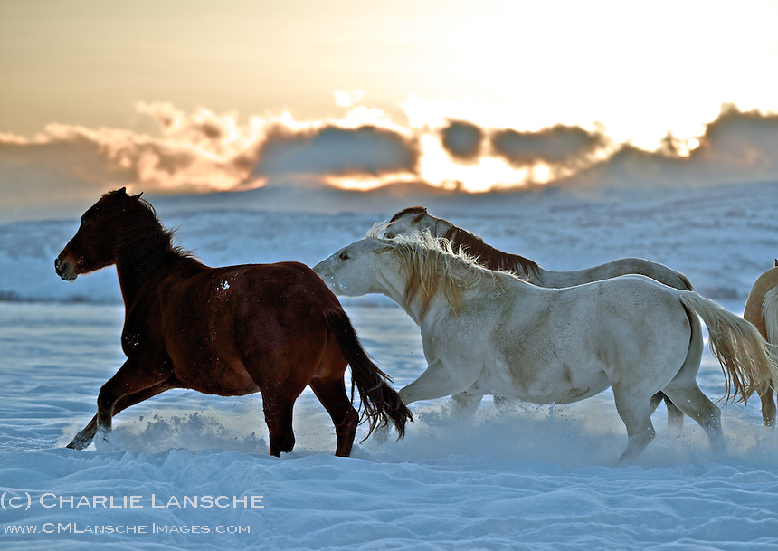 Horses have their own social hierarchy and this powerful mare demonstrates who's boss.  Fresh snow and a classic golden sunset over Wasatch Range creates a dramatic winter backdrop.  It was 12 degrees when I snapped this image and my frozen fingers could not feel camera controls -   but it was worth it!