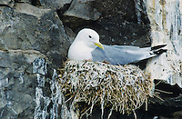aBlack-legged Kittiwake, Rissa tridactyla,dult on nest, Ekkeroy, Norway, June 2001