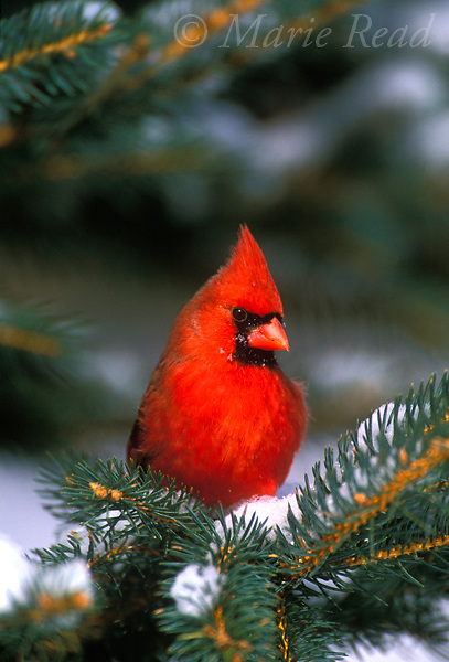 Northern Cardinal (Cardinalis cardinalis) male perched in snowy conifer in winter, New York, USA<br /> Slide B162-454