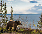 Grizzly bear and Yellowstone Lake. Yellowstone National Park, Wyoming.