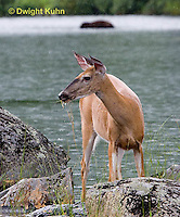 MA11-516z  Northern (Woodland) White-tailed Deer eating pond plants, Odocoileus virginianus borealis