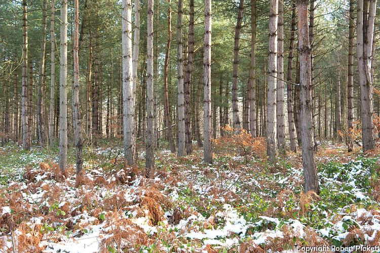 Pine Trees, Pinus sp., Thornden Woodlands, Kent, UK, in winter, light snow covering, conifer