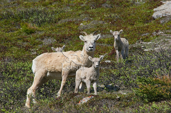 Bighorn Sheep or Mountain Sheep (Ovis canadensis) ewe with lambs.  Northern Rockies.  June.
