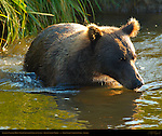 Alaskan Coastal Brown Bear Crossing Creek at Sunset, Silver Salmon Creek, Lake Clark National Park, Alaska