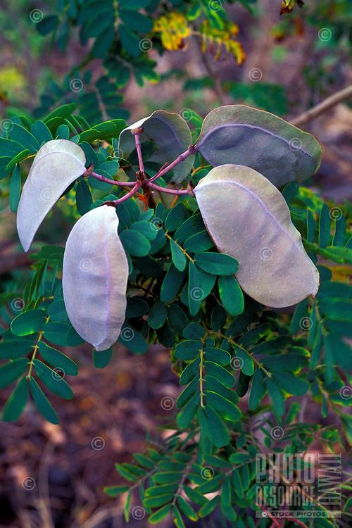 Uhiuhi pods (Caesalpinia kavaiensis), a rare endangered native Hawaiian plant, Kaupulehu