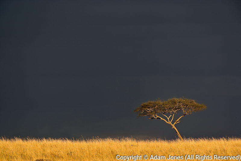 Umbrella Acacia tree, Acacia tortilis, at sunset against stormy sky,  Masai Mara Game Reserve, Kenya, Africa