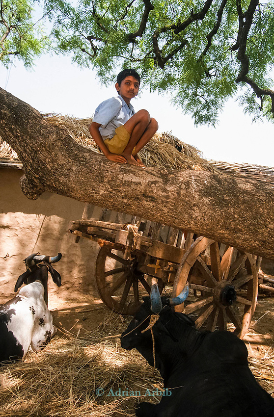 A Neem tree in a Deccan  plateau  village . INDIA.<br /> Western companies have taken out more than 70 patents on the properties of the neem tree, and they are now held by companies, universities, governments and individuals. But in a landmark challenge IN 2005 , a group of ecologists and the Indian government took on the giant American company WR Grace and the US department of agriculture  and have revoked the patents application.