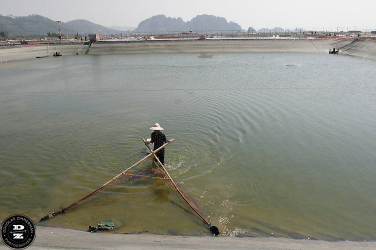A farmer collects prawns raised in holding pools at a prawn farm in Yen Hung, Vietnam.  The farm, next to Halong Bay, has pools that can raise several tons of prawns for each harvest.   Photograph by Douglas ZImmerman
