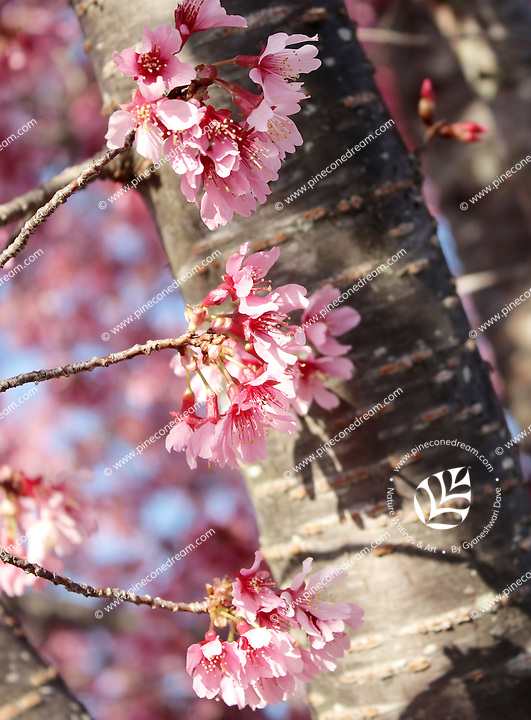 Stock photo - Stems  and bunches of pink cherry blossom flowers and a beautiful bark.