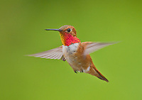 Male rufous hummingbird in flight.<br />