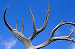 Reindeer antlers blue sky