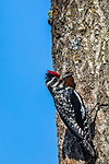 Female yellow-bellied sapsucker bringing food to her chicks.