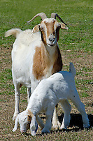 Baby goat with adult goat on a farm in North Carolina.