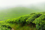 Tea plantations in mountanous northwest Rwanda..