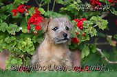 Bob, ANIMALS, REALISTISCHE TIERE, ANIMALES REALISTICOS, dogs, photos+++++,GBLA4299,#a#, EVERYDAY
