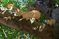 Schuppiger Porling, Schuppiger Stielporling, Schwarzfußporling, Polyporus squamosus, Baumpilz an alter, absterbender Kastanie, Dryad's saddle, Pheasant's back mushroom