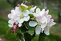 Blossom of Apple 'Bow Hill Pippin', early May. An English cooking apple raised by A.S. White at Bow Hill, Maidstone, Kent at the end of the 19th century. First introduced commercially in 1893.