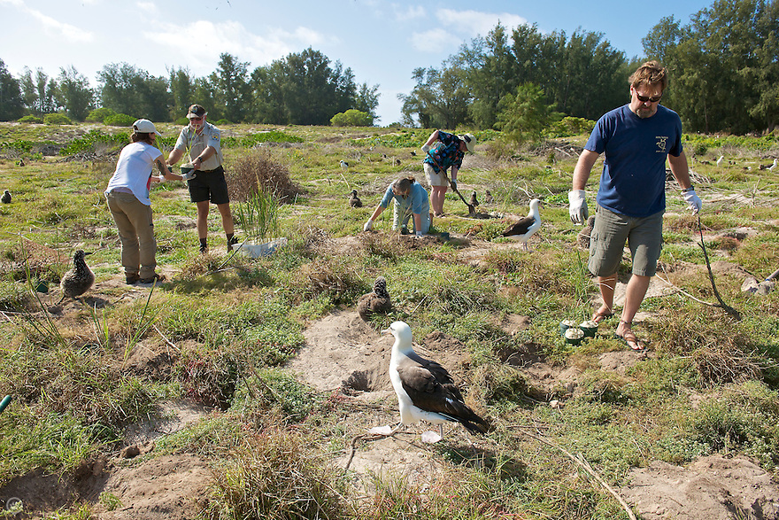 A group of volunteers plant new bunch grass during a habitat restoration program on Midway Atoll. The young albatross love the new plants which provide shade and entertainment while they grow.<br /> <br /> Learn how you can become a Midway volunteer:<br /> http://www.fws.gov/midway/volunteer.html