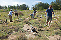 A group of volunteers plant new bunch grass during a habitat restoration program on Midway Atoll. The young albatross love the new plants which provide shade and entertainment while they grow.<br />