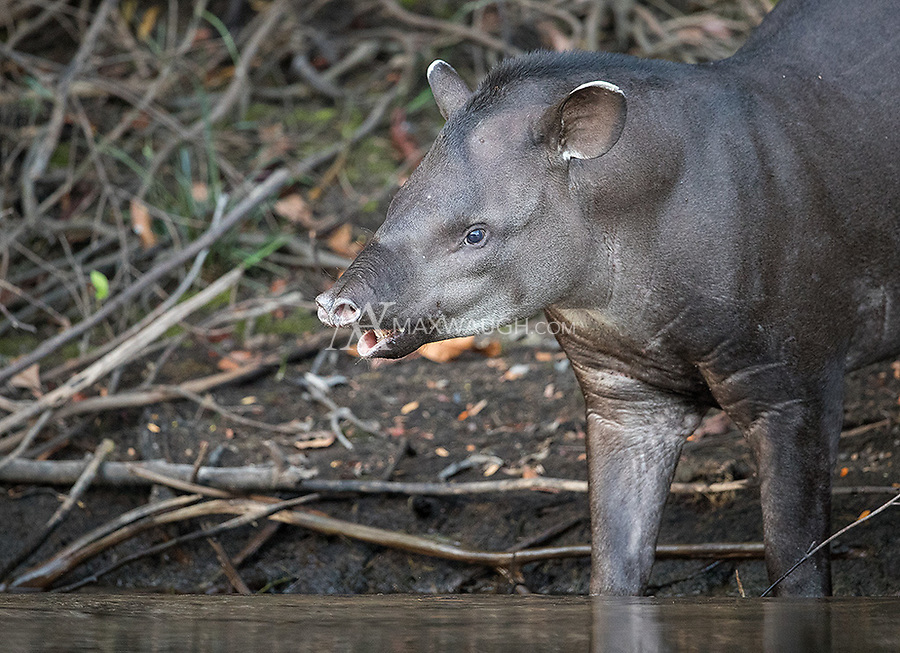 Before we even arrived at our first lodge we encountered this tapir getting a drink from the Cristalino River.