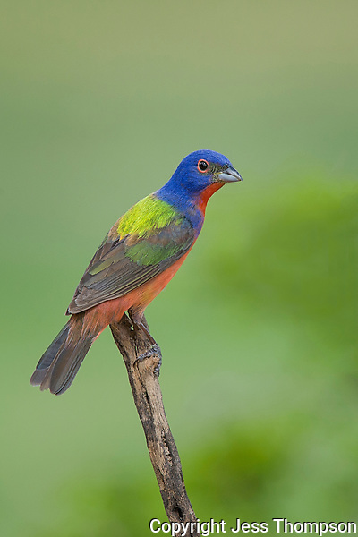 Painted Bunting, Laguna Seca Ranch, Edinburg, Texas