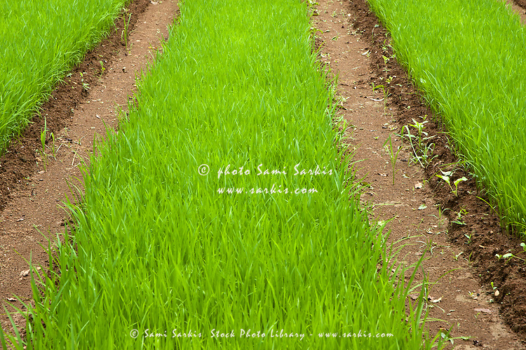 Bright green grass of a rice paddy, Yangshuo, Guangxi, China.