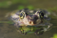 Couch's Spadefoot, Scaphiopus couchii, adult, Willacy County, Rio Grande Valley, Texas, USA
