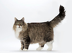 Norwegian Forest Cat - Female - Brown Tabby & White Colour, 9 years old