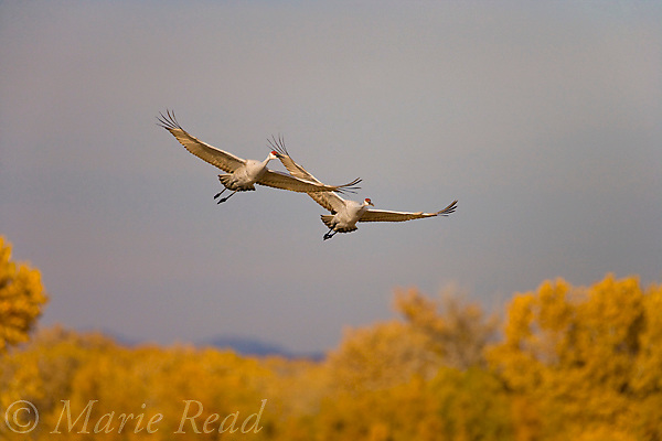 Greater Sandhill Cranes (Grus canadensis) pair in flight in autumn, Bosque Del Apache National Wildlife Refuge, New Mexico, USA