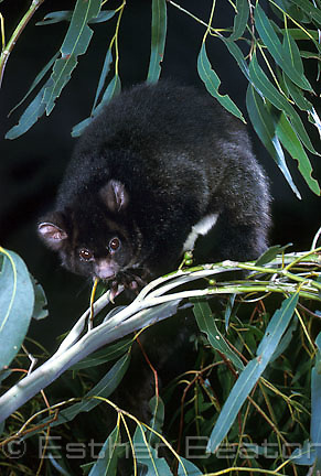 Greater Glider (Petauroides volans) dark phase. Highland forest of New South Wales. Threatened species