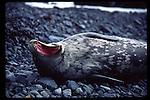 Weddell seal yawning, Half Moon Island