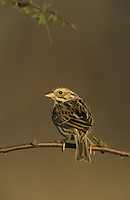 Song Sparrow,Melospiza melodia, adult, Lake Corpus Christi, Texas, USA, May 2003