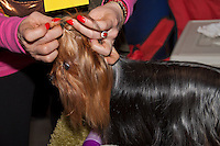 Owner putting a bow in the top know of her Yorkshire Terrier at the international dog Show in Prague, May 2014. Getting the Dog ready for the Show ring.