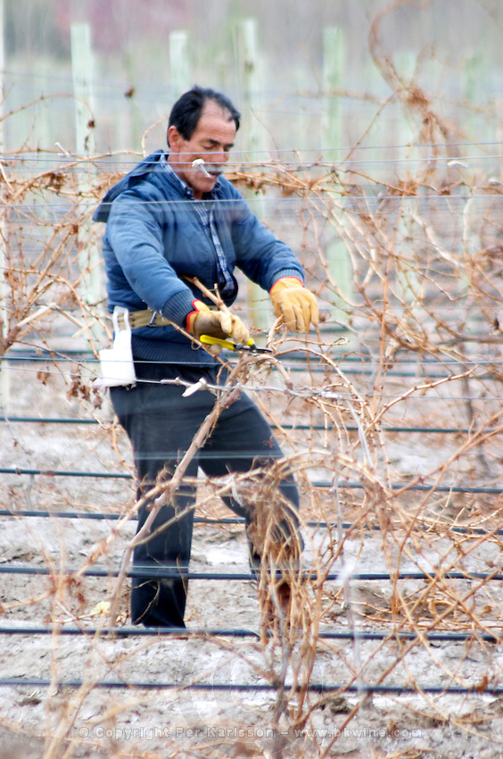 A vineyard worker doing winter pruning cutting down old branches with a secateur Bodega Del Anelo Winery, also called Finca Roja, Anelo Region, Neuquen, Patagonia, Argentina, South America