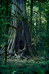 Old crooked cedar tree with exposed roots in a forest Cathedral grove, Vancouver Island, BC, Canada