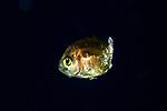 Damsel , Black Water Diving; Jellyfish; Plankton; larval crustaceans; larval fish; marine behavior; pelagic creatures; pelagic larval marine life; plankton creatures; underwater marine life; vertical migration marine creatures