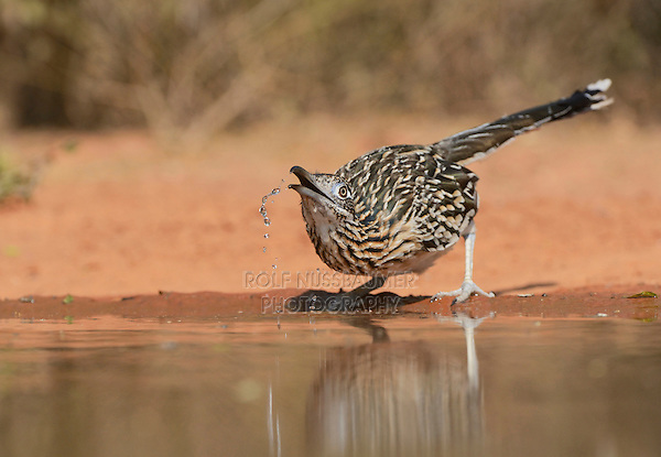 Greater Roadrunner (Geococcyx californianus), adult drinking, Rio Grande Valley, South Texas, Texas, USA