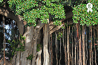 Banyan tree on Waikiki beach, Honolulu, Oahu Island, Usa (Licence this image exclusively with Getty: http://www.gettyimages.com/detail/85985786 )