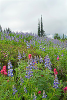 Wildflower meadow in Mt. Rainier National Park, WA.Blue Lupine and Indian Paintbrush
