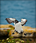 Razorbill landing with flowers in foreground and water droplets visible